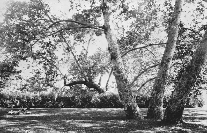 Ancient Tree in Sycamore Grove