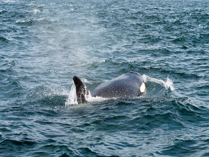 Orcas-8020872.jpg