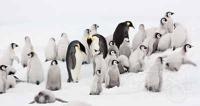 Rookery. Snow Hill Island, Antarctica