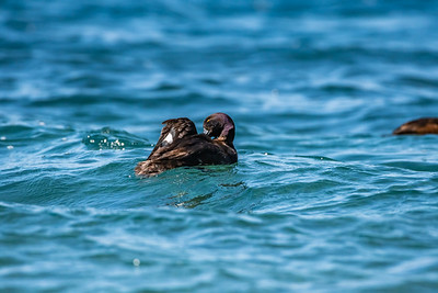 New Zealand Scaup [Aythya novaeseelandiae]