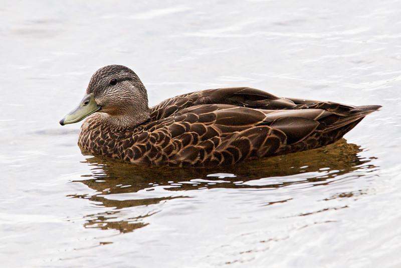 Duck - American Black - Gunflint Lodge - MN - 02