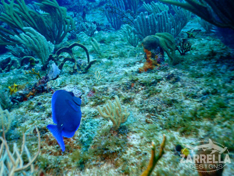 """Blue Tang"" (Fishbowl Reef, St. Maarten)"