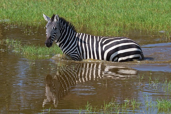 Zebras in Tanzania and Kenya