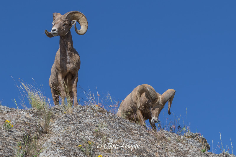 Big Horn Sheep - National Bison Range, Montana