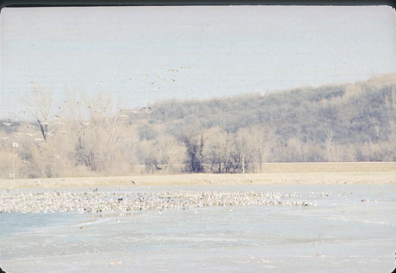 Geese At Iatan, Kansas City, MO,  December, 1985