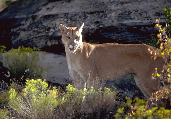 Cougars & other wild cats