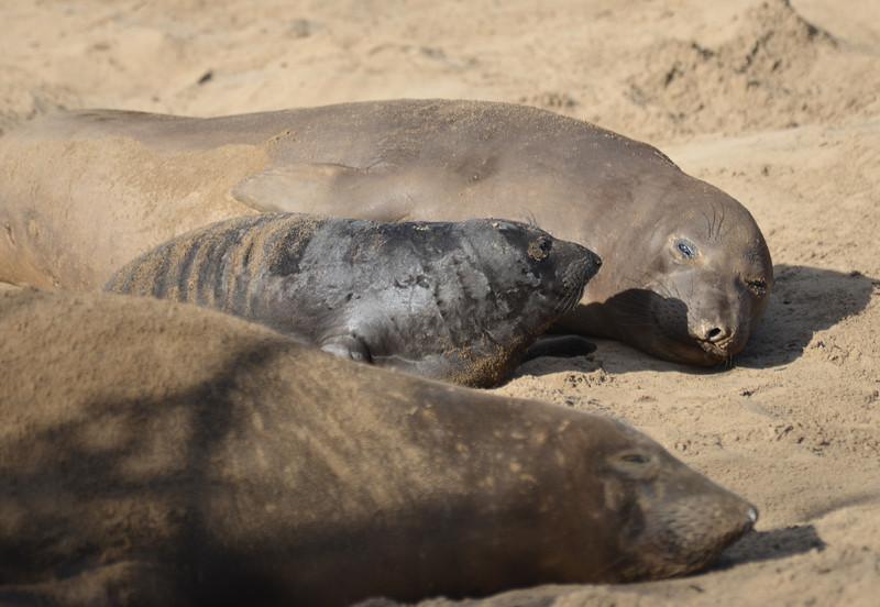 ano-nuevo-elephant-seals-2013 45.jpg