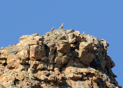 Quest For Himalayan Snowcocks in the Ruby Mountains of Nevada in August, 2014.