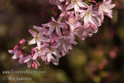 Beni Hoshi Flowering Cherry (Prunus subhirtella 'Beni Hoshi')