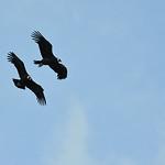 Condors in Parque Nacional Torres del Paine, Chile