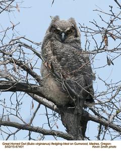Great Horned Owl J67401 .jpg