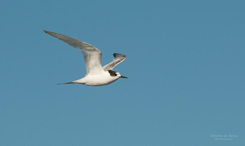 White-fronted Tern, Wollongong Pelagic, NSW, Aus, Sep 2013-1.jpg
