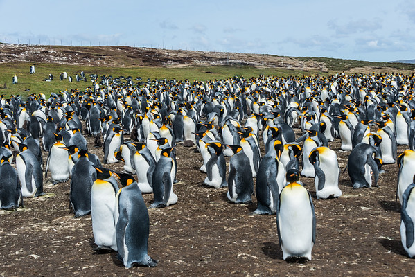 Penguins in Falklands
