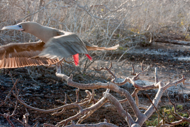 Red Footed Booby on a Mission : Journey into Genovesa Island in the Galapagos Archipelago