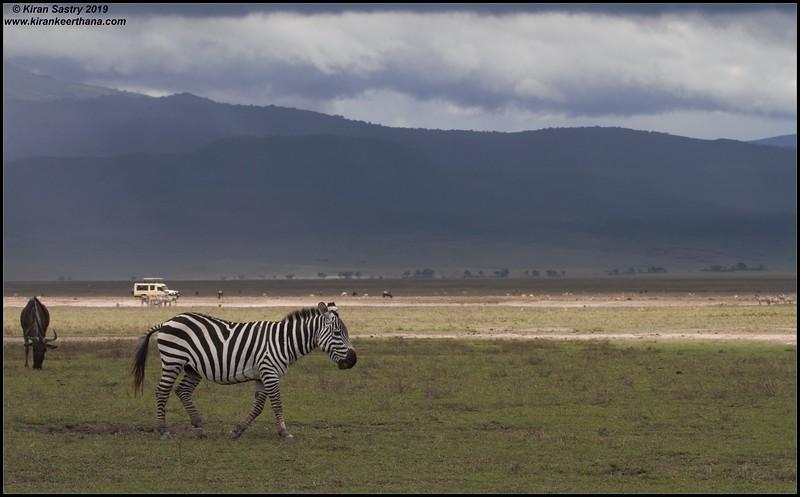 Safari Zeep in the background of Zebra, & Wildebeest, Ngorongoro Crater, Ngorongoro Conservation Area, Tanzania, November 2019