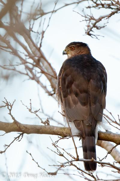Cooper's Hawks 2015