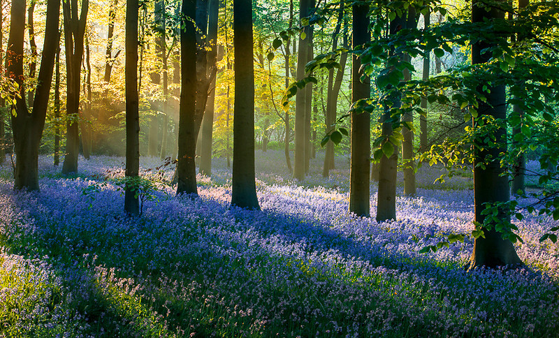 Bluebells copy.jpg