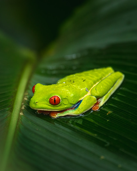 Red Eyed Treefrog On leaf-1.jpg