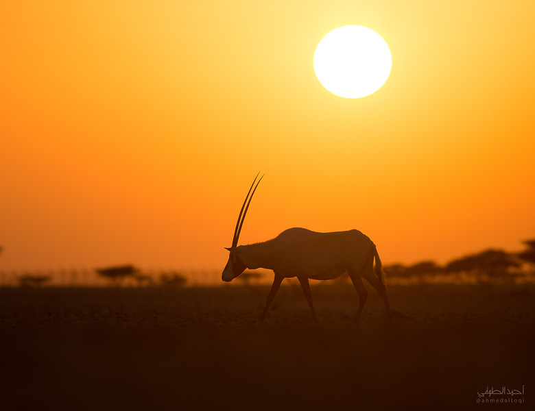 Arabian Oryx (20).jpg