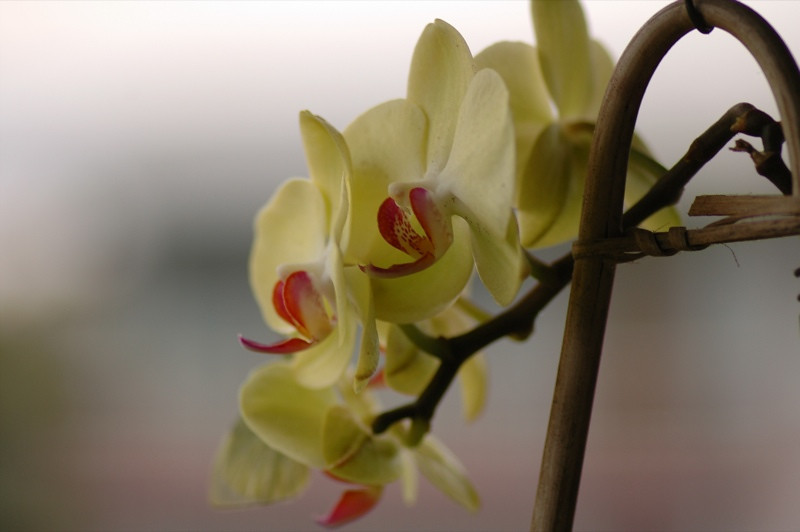 Yellow Orchids - Inle Lake, Myanmar (Burma)