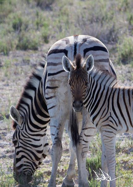 ZebraS-1.jpg