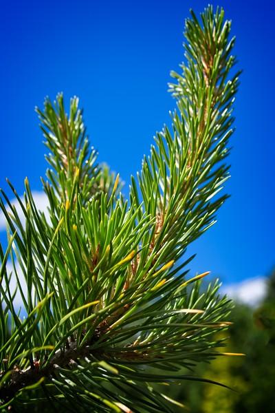 Pinus contorta var. latifolia 'Chief Joseph' 2020/05/17