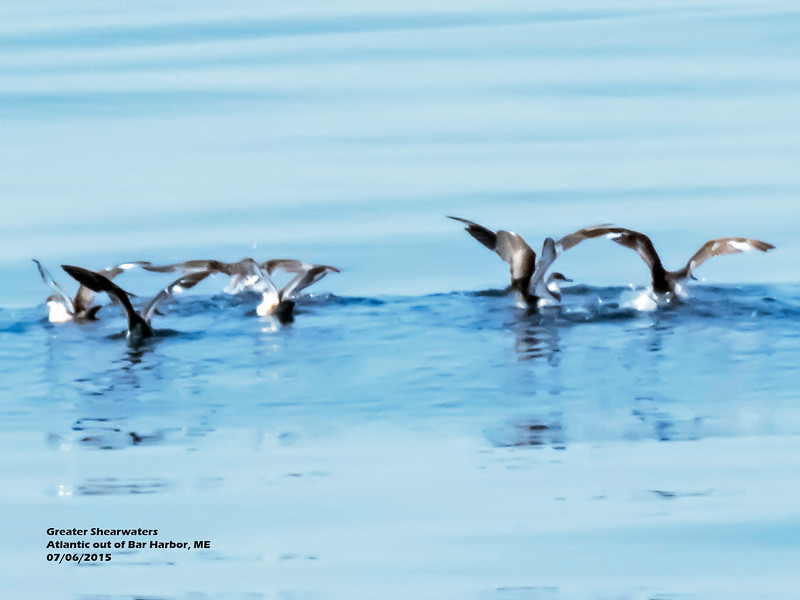 a706 908 20150725_97 3T Greater Shearwaters taking wing Atlantic out of Bar Harbor 706 1113.jpg