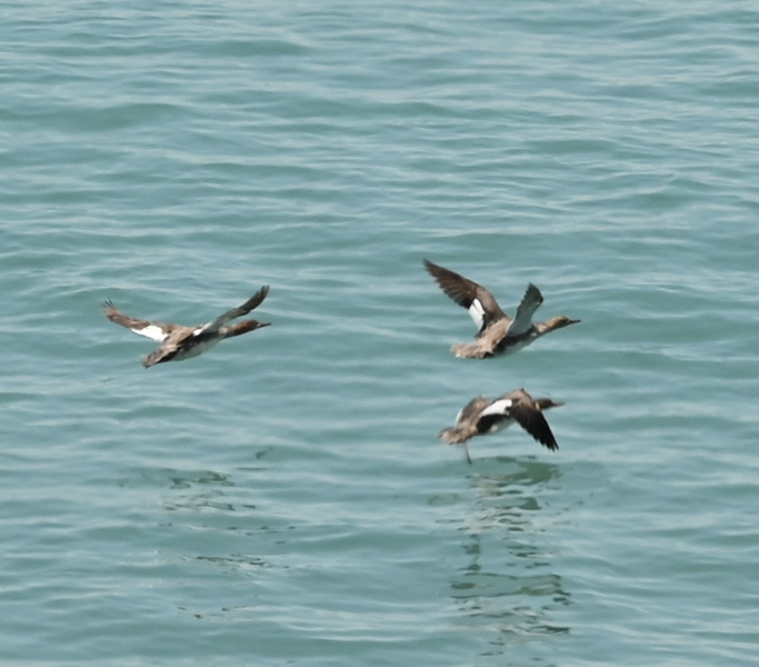 Red-breasted Mergansers offshore , in Area 1 (Photo by Gerry McKenna)