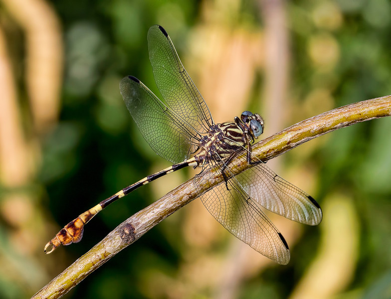 Five-striped Leaftail (Phyllogomphoides albrighti), male;  Pumphouse E of Santa Ana