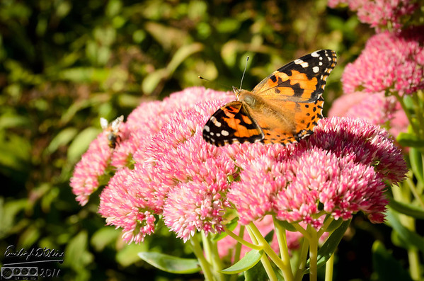 Bees and Butterfly - Sept. 2011