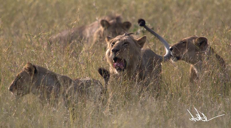 Lions Masai Mara - S-23.jpg