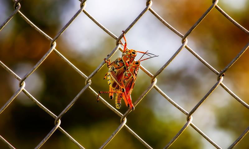 Grasshoppers 46.jpg