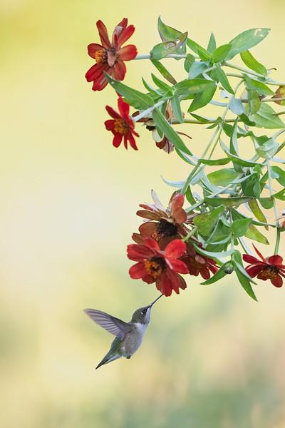 #1742 Ruby-throated Hummingbird