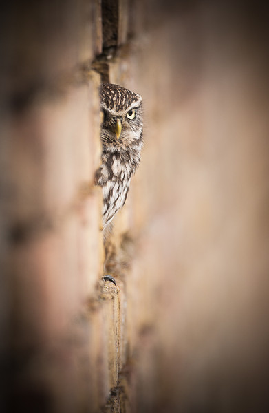 Little Owl wall.jpg