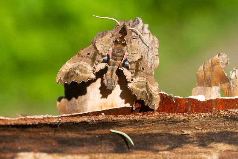 Paonias excaecata Blinded Sphinx 7824 Family Sphingidae Subfamily Smerinthinae Skogstjarna Carlton County MN  IMG_0081.jpg