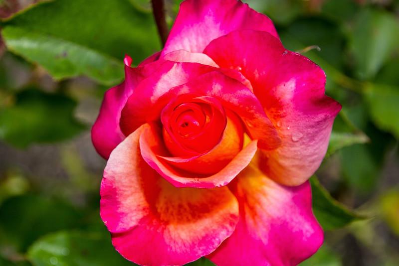 Filoli_Roses-12.jpg
