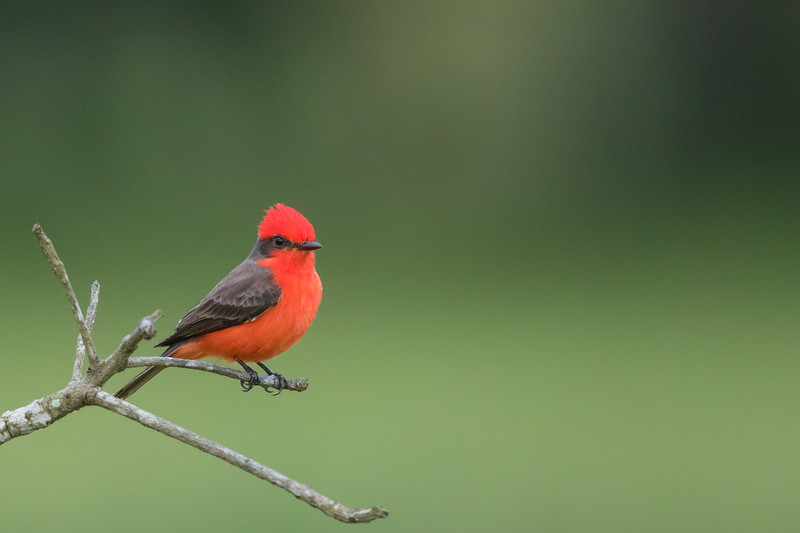 Vermilion Flycatcher  - Crooked Tree, Belize