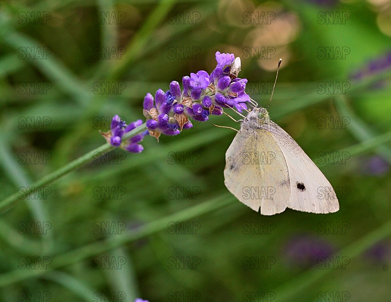 Cabbage White; Small White; White Butterfly; Cabbage Butterfly (Pieris rapae).
