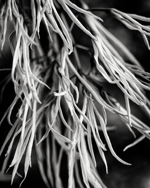 fringe-tree.jpg