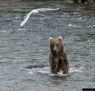 Bears of Katmai National Park, AK