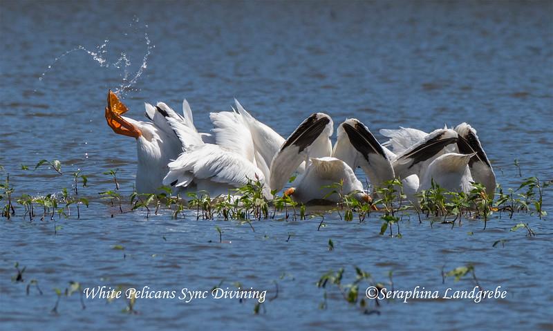 _DSC6935Sync Pelican divingb.jpg