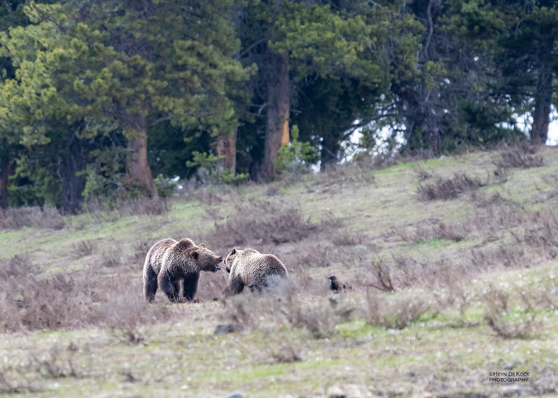 Grizzly Bear, Yellowstone NP, WY, USA May 2018-5.jpg