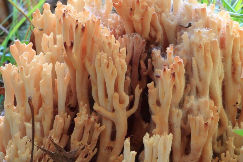 Coral Mushroom- Mallard Lake