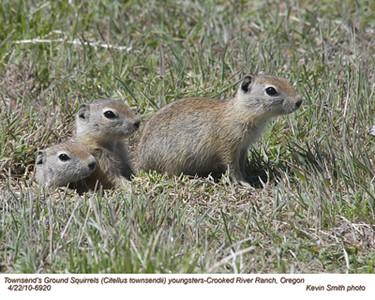 Townsend'sGroundSquirrelsY6920.jpg