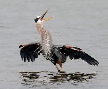 Sea Gull attacks Great Blue Heron