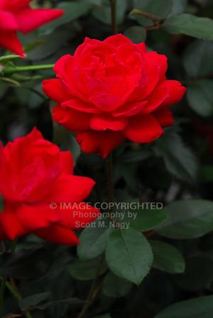 09/02/11 Roses