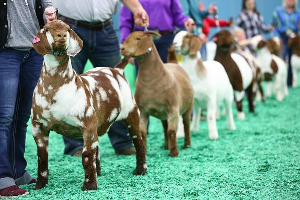 Boer Goat Show