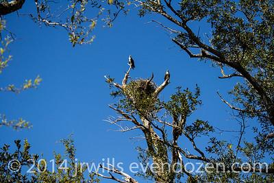Osprey Near Fort Pickens