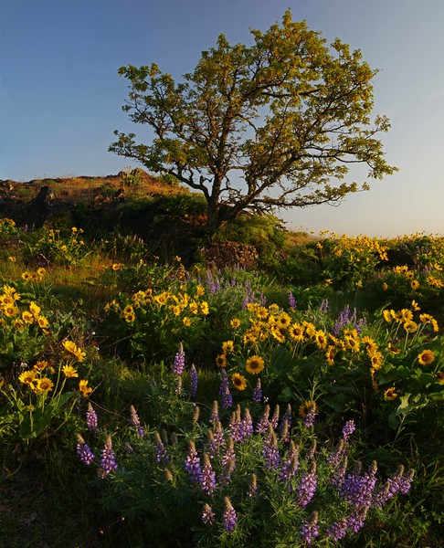 Rowena lupine, balsamroot, tree pano enh sf.jpg