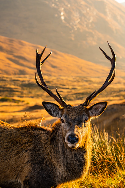 Monarch of the Glen: Red Deer Stag in Glen Etive, Scotland